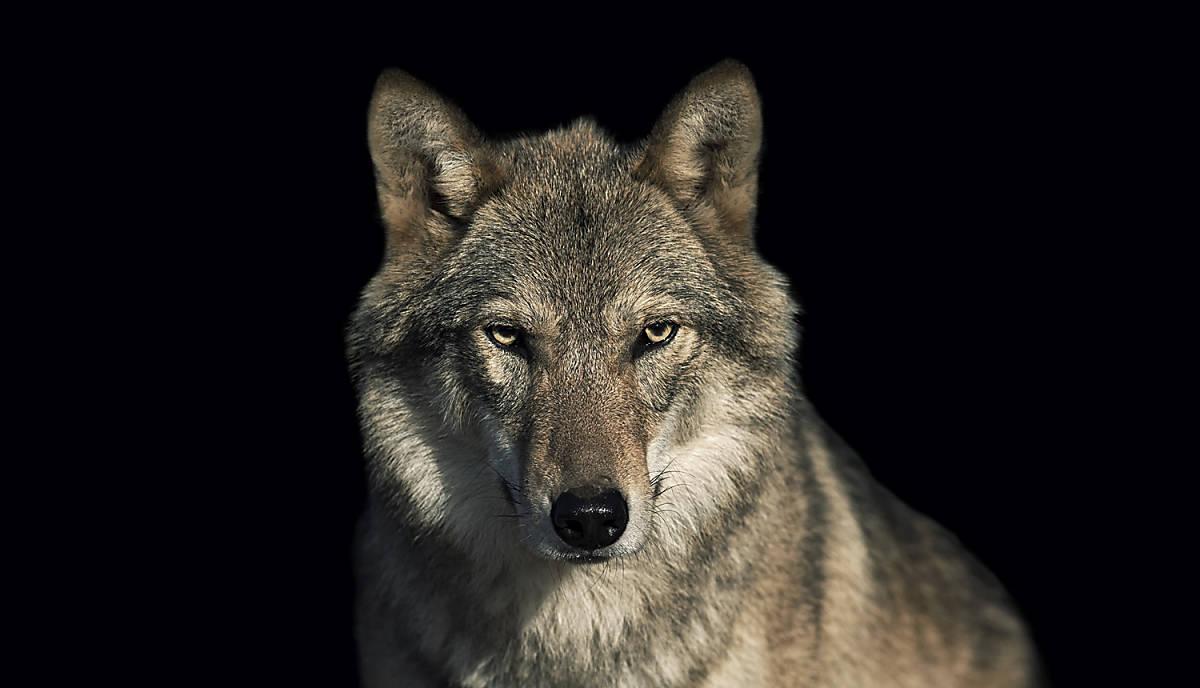 steckbrief_wolf_teaser-m_standard