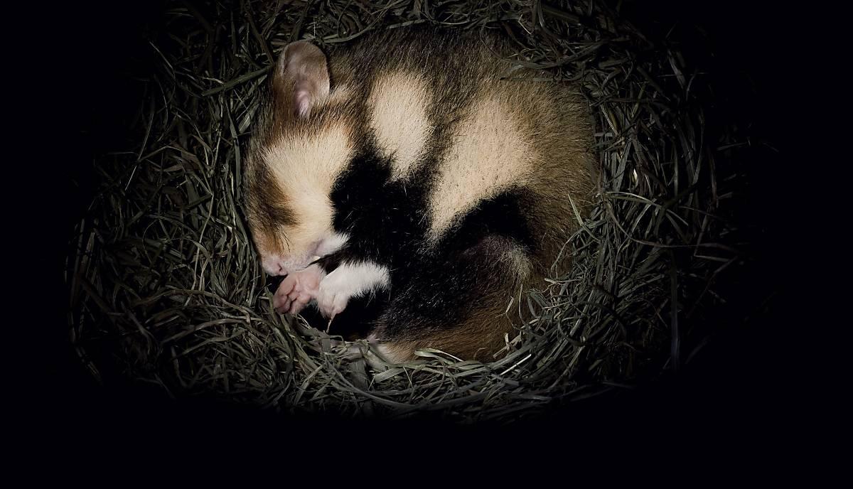 Feldhamster im Nest.