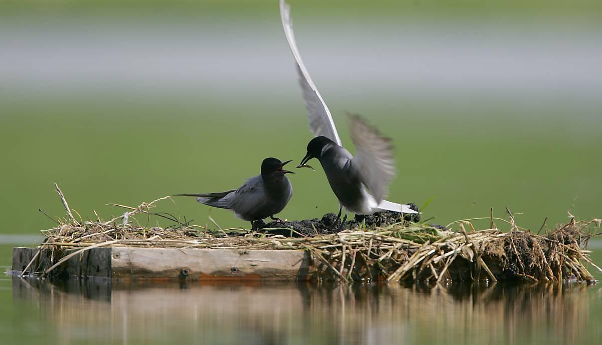 Eine Trauerseeschwalbenmännchen füttert ein Weibchen auf einer künstlichen Nisthilfe.