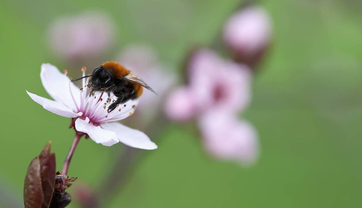 Eine Wildbiene auf einer Kirschblüte