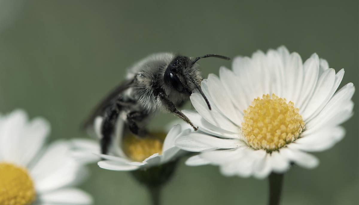 Wildbiene sammelt Nektar auf einer weißen Blüte