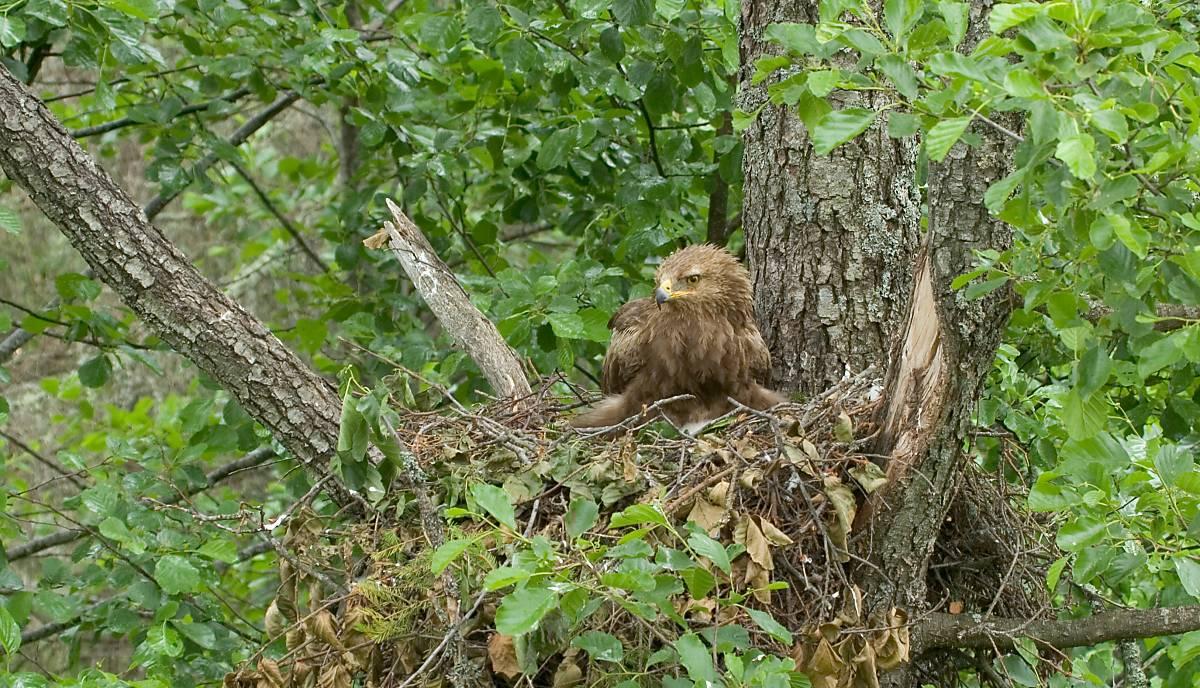 Schreiadler-Weibchen in Lettland sitzend im Nest