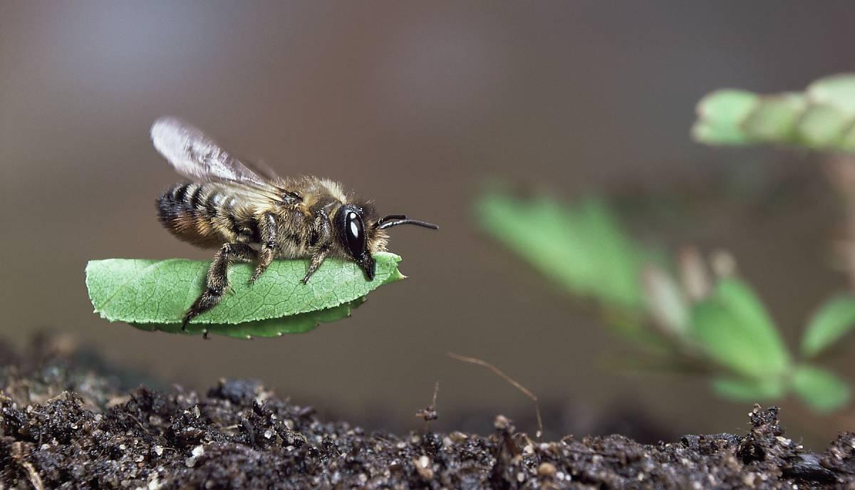 Blattschneiderbiene auf Blatt