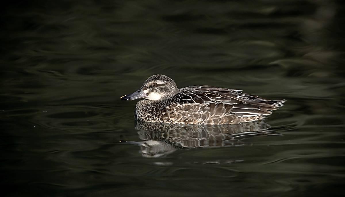 Ente-auf -Teich