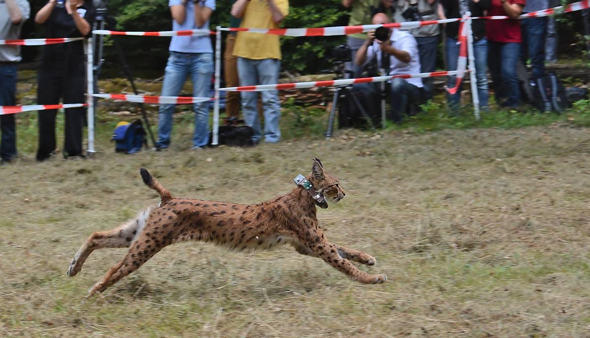 Luchs Luna, Luchs-Patenkind der Deutschen Wildtier Stiftung