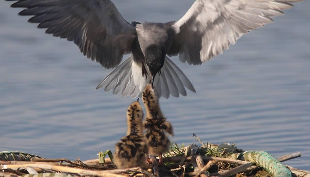 Trauerseeschwalben-Küken werden mit Fisch gefüttert