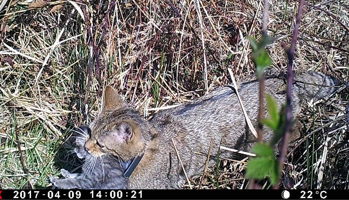 Umtragen einer jungen Wildkatze durch das Muttertier