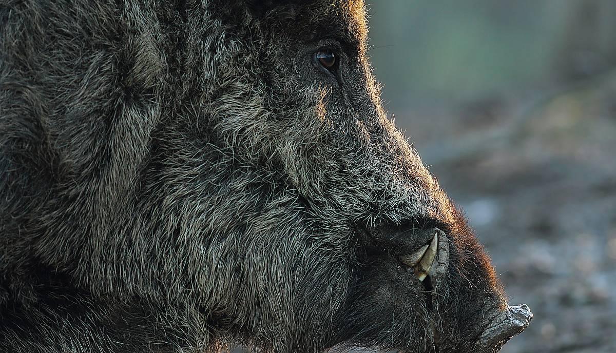 wildschwein-fellverlaengerung-winter