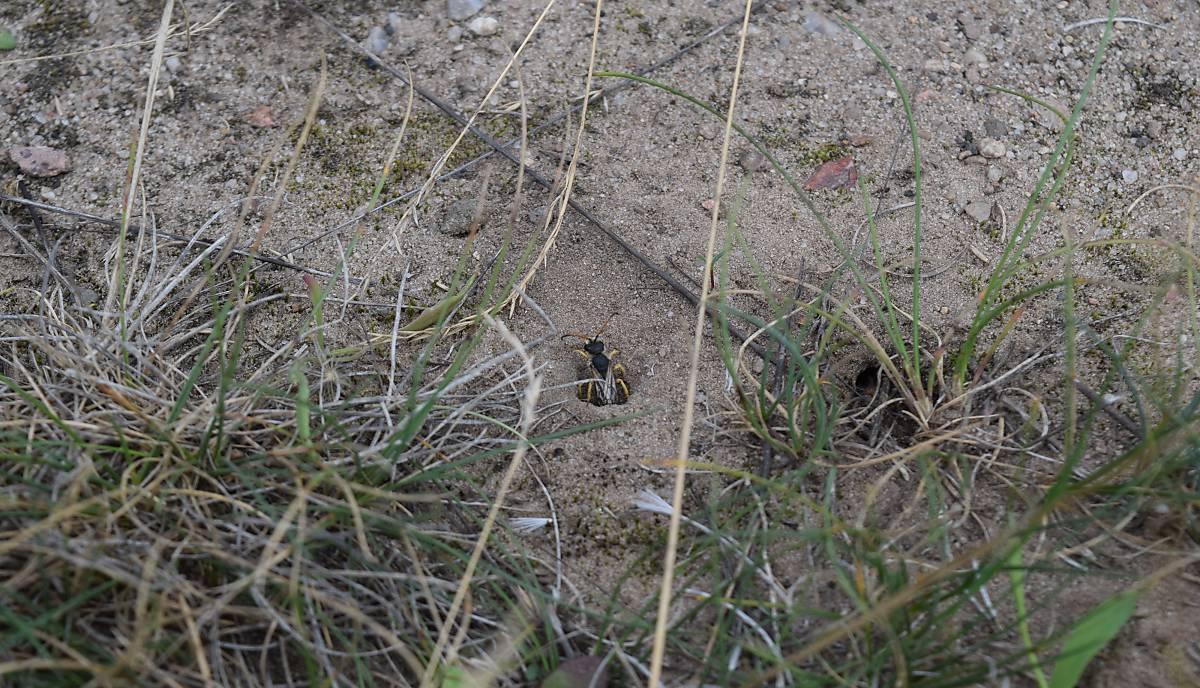 Hier kommt eine Furchenbiene aus ihrem Nest im Erdboden (Foto: Schmid-Egger)