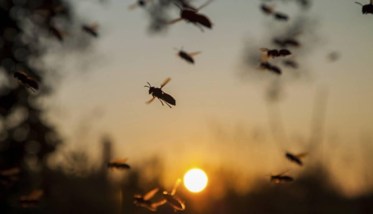 Faltenwespen fliegen bei Sonnenuntergang