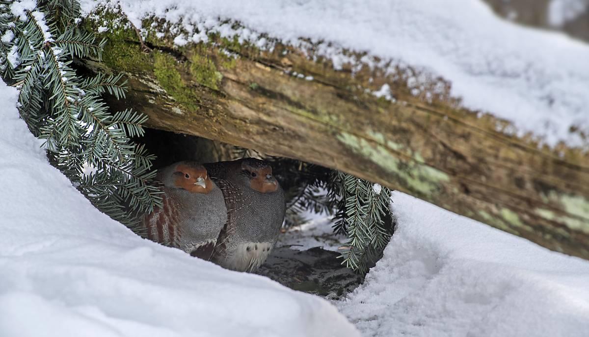 rebhuehner-tiere-im-winter