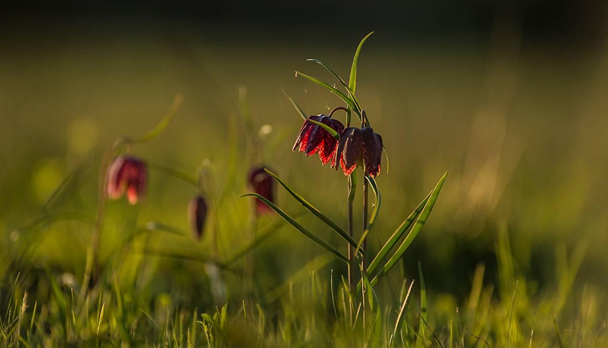 feuchtwiese-schachblumen-copyright-jan-haft