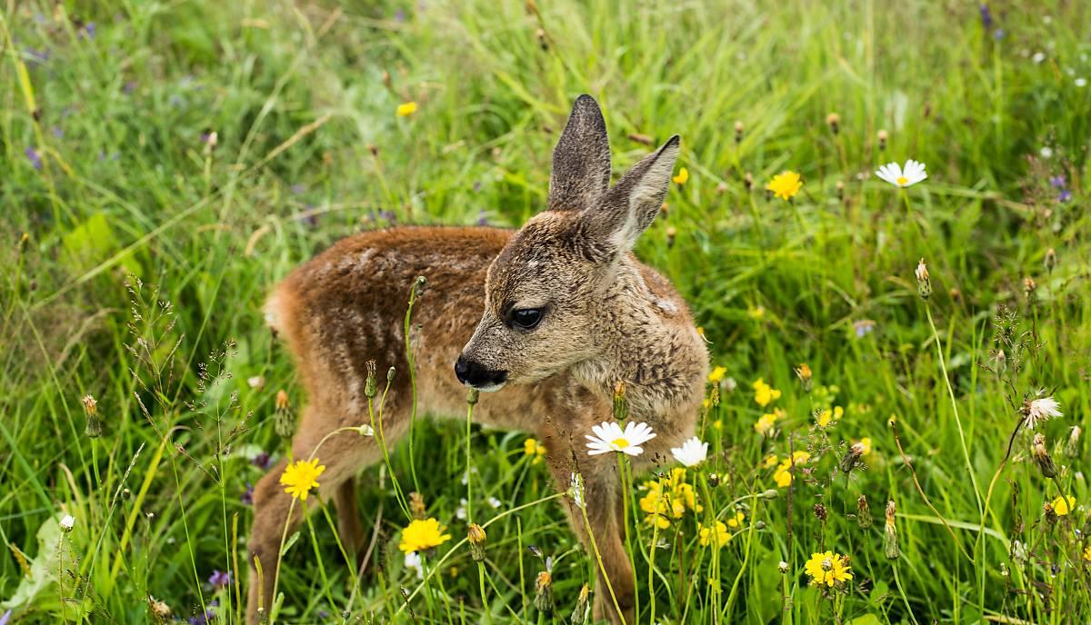 bambi-in-blumenwiese-copyright-nautilusfilm-6