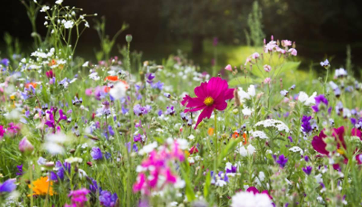 lebensraum-sichern_wildblumenwiese