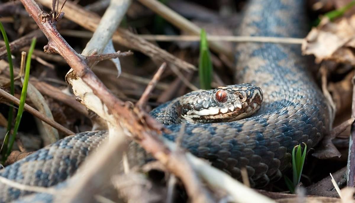heimische-schlangenarten