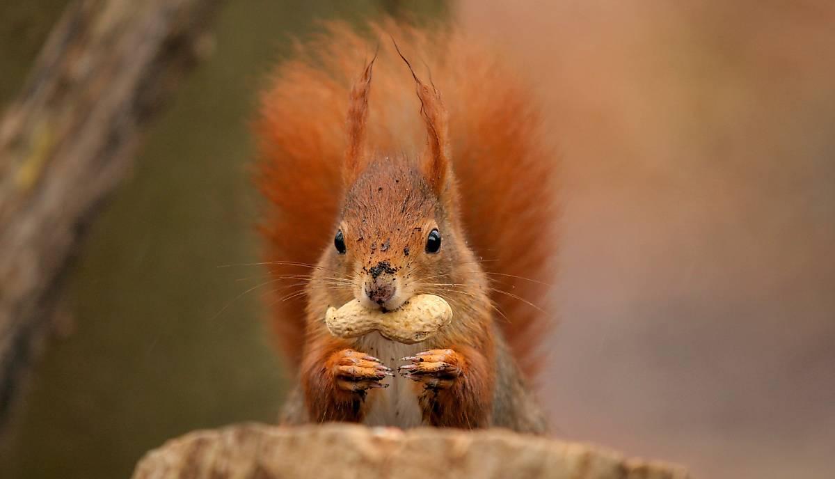 Eichhörnchen mit Nuss (piclease/Christian Müller)