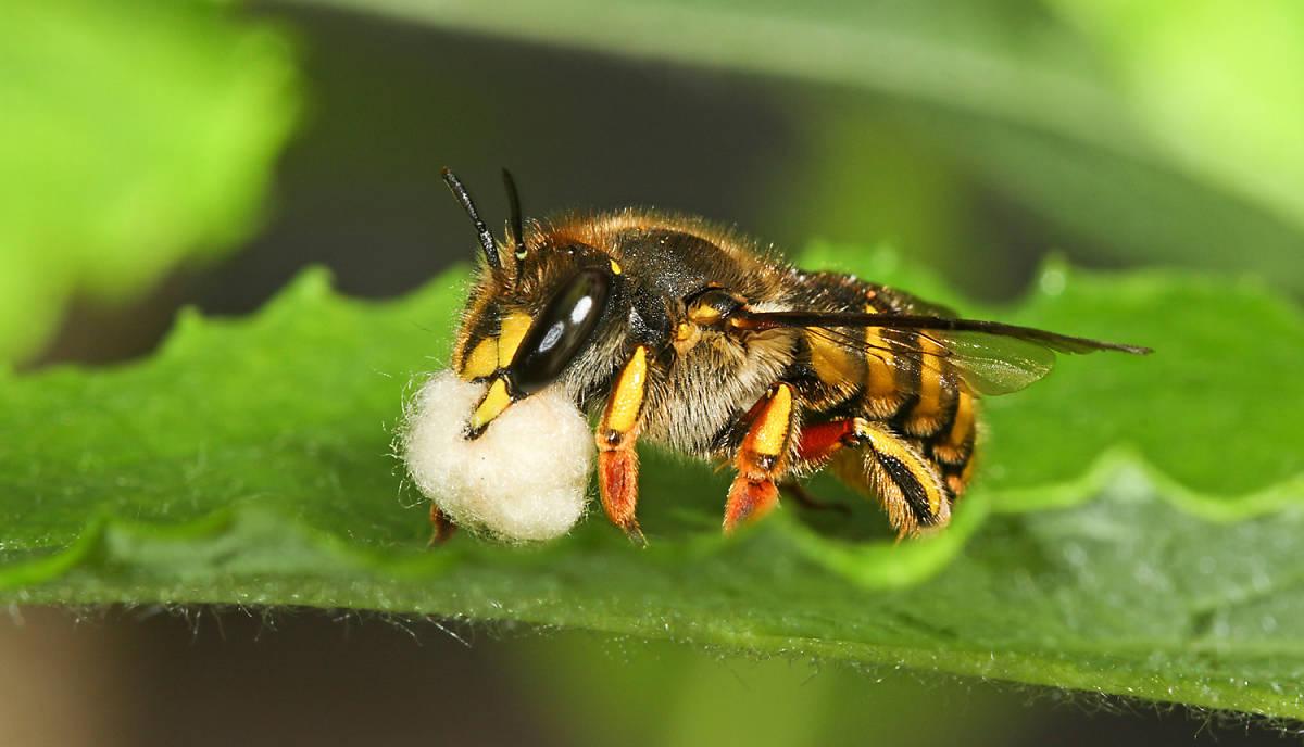 Mit Ihrer Spende unterstützen Sie unser Engagement für die bedrohten Wildbienen.