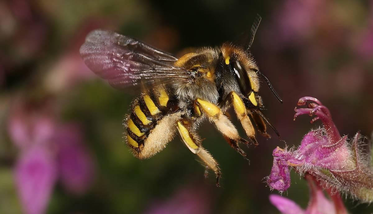 Große Wollbiene oder Garten-Wollbiene (Anthidium manicatum) - Foto: DeWiSt/Christian Schmid-Egger