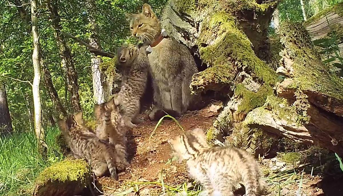 wildkatzen-junge