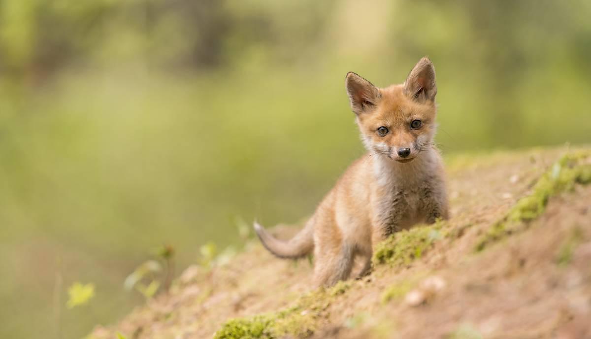 Ein Fuchswelpe erkundet neugierig sein Umfeld. Foto: Enrico Schubert