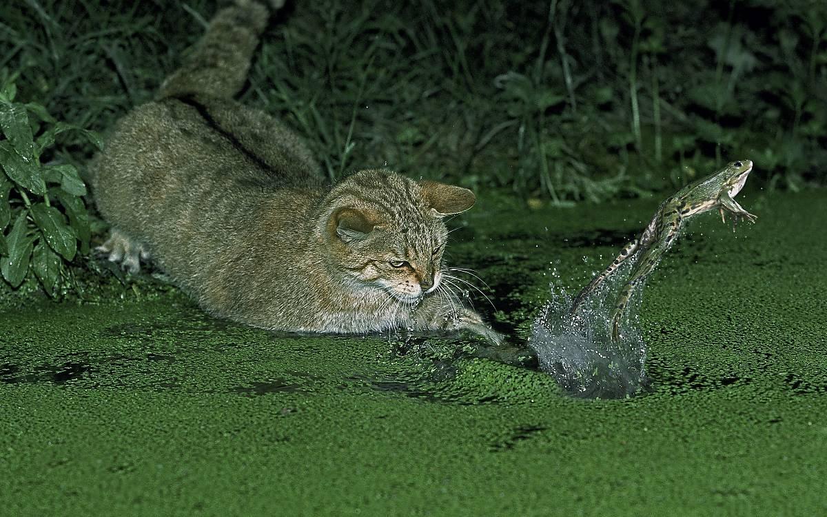 Wildkatzen jagen Frösche am Ufer flacher Gewässer.