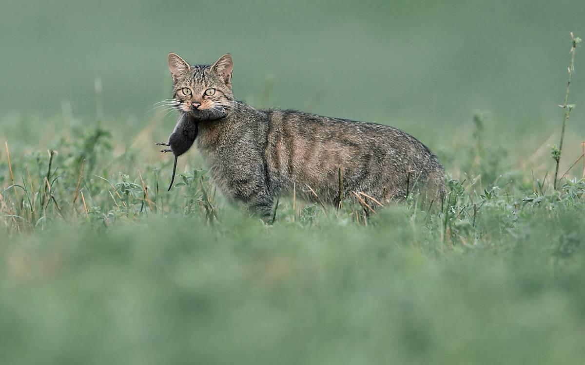 Kleinsäuger sind die wichtigste Nahrungsquelle für die Wildkatze.