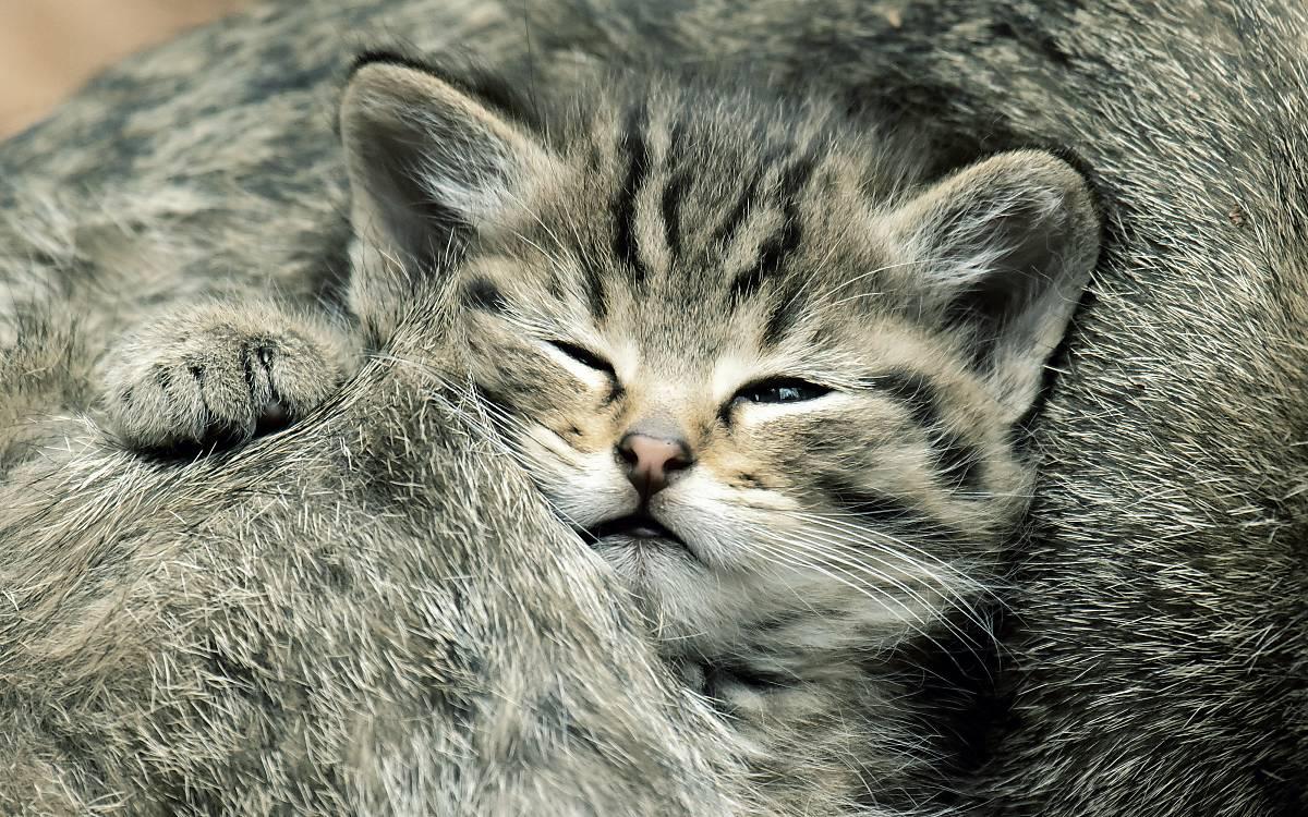 Wildkatzen verstecken ihren Nachwuchs in Totholzstrukturen am Boden.