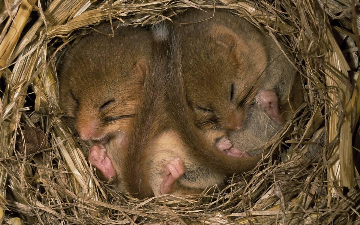 Zwei Haselmäuse im Winterschlaf