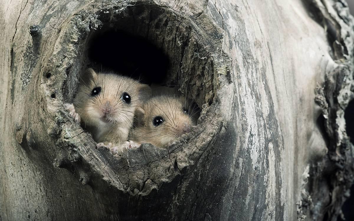 Haselmäuse schauen aus Baumhöhle