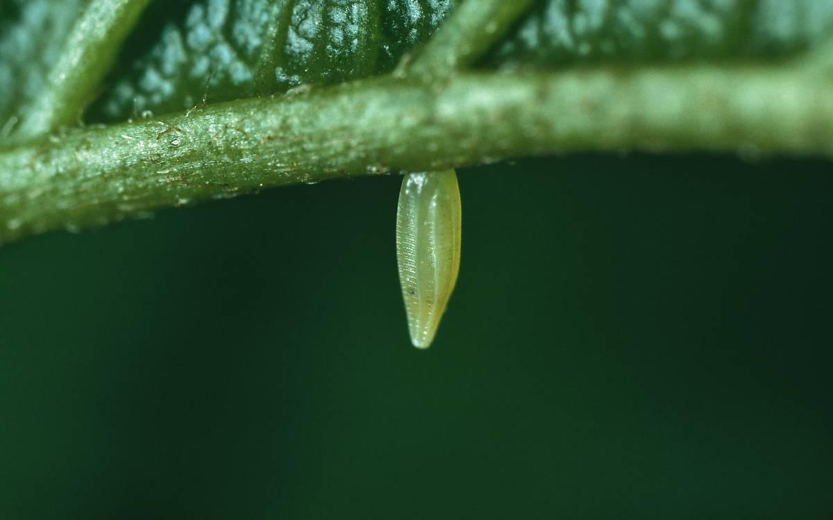 Schmetterlinge legen ihre Eier bevorzugt an ihren spezifischen Nahrungspflanzen ab