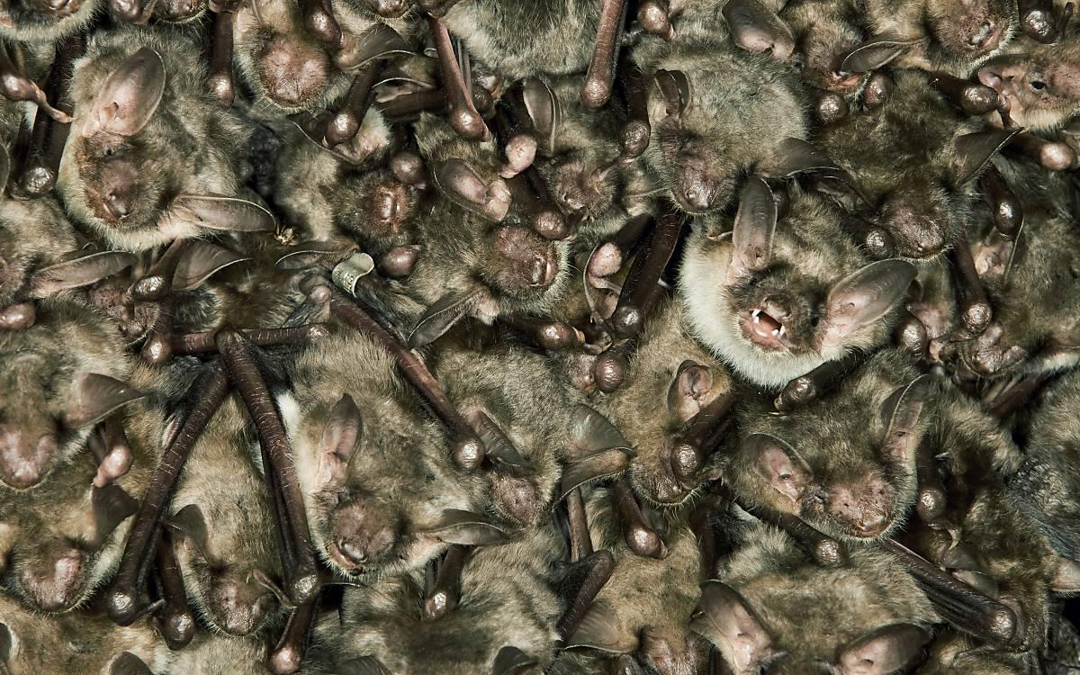 Etwa 50 bis 70 Muttertiere finden sich zur Aufzucht des Nachwuchses in sogenannten Wochenstuben zusammen