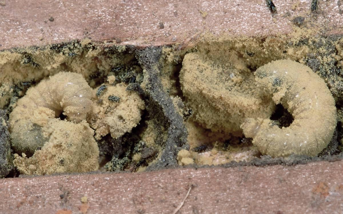 Wildbienenlarven in einer Niströhre