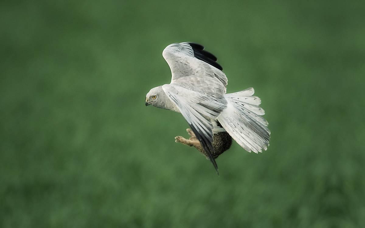 Wiesenweihen jagen ihre Beute dicht über den Boden fliegend.