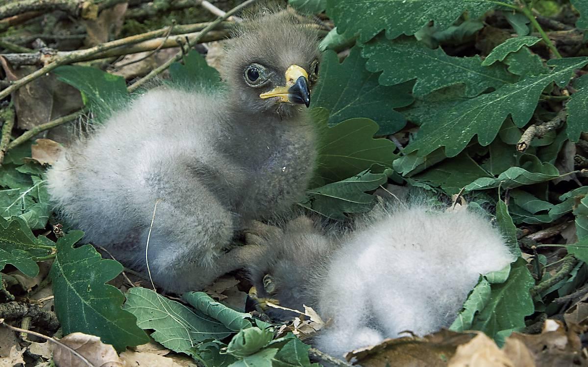 Zwei Schreialder-Jungvögel