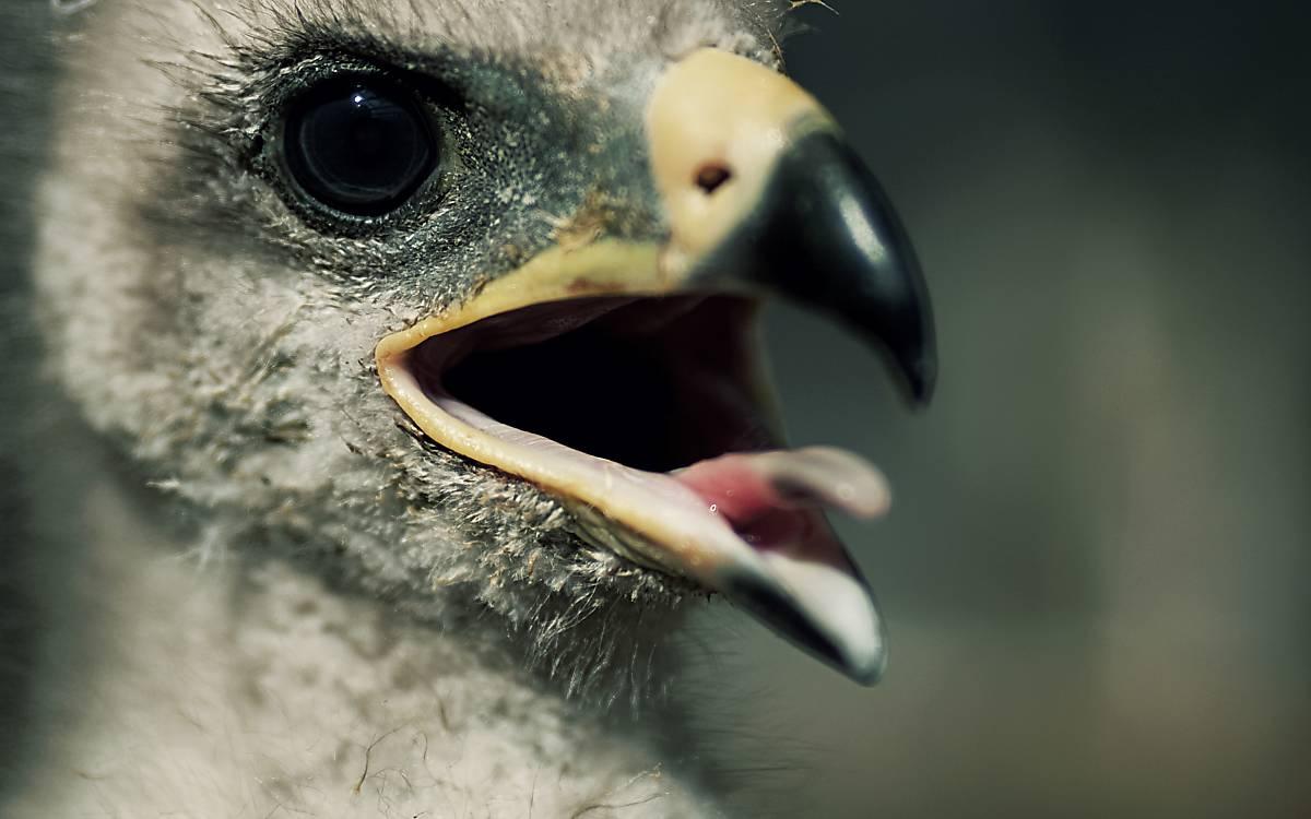 Schreiadlerjungvogel in Nahaufnahme