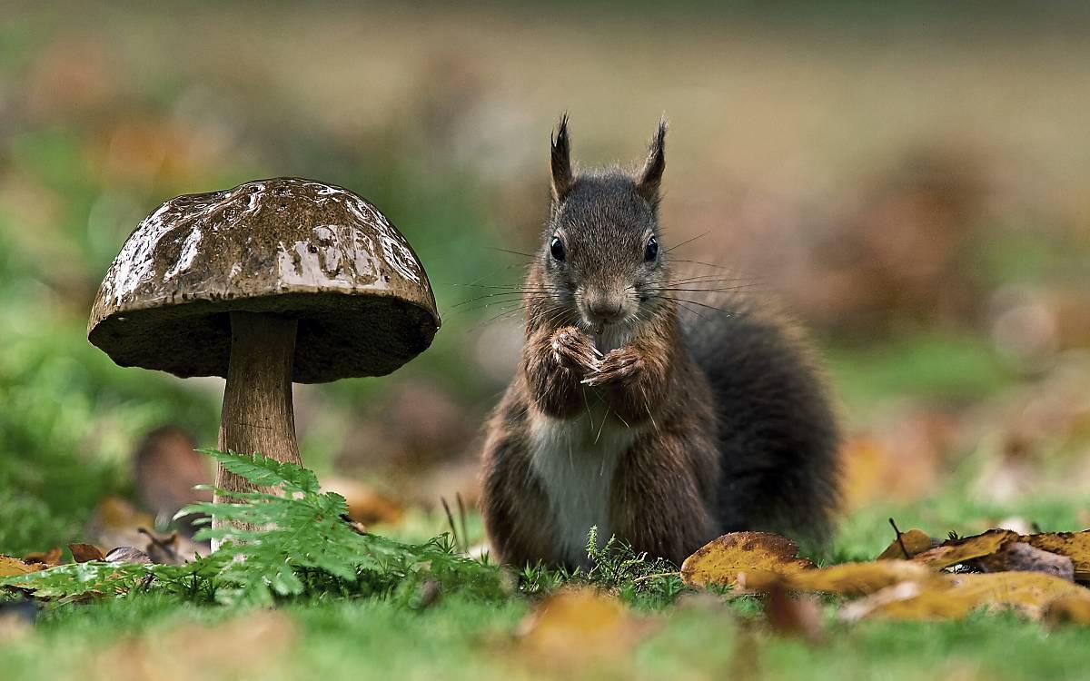 Eichhörnchen sorgen mit nicht aufgebrauchten Nahrungsdepots aus Sämereien für den Waldaufbau