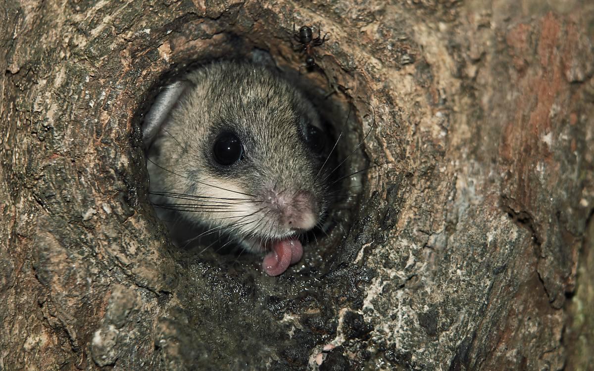 Siebenschläfer nutzen Baumhöhlen als Unterschlupf oder für ihr Nest.