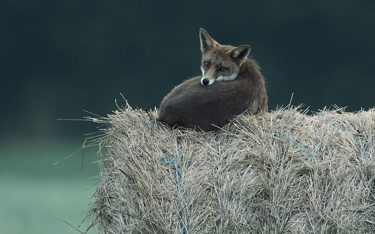 Auch über den Jahresverlauf kann das Aussehen ein und desselben Tieres erheblich variieren