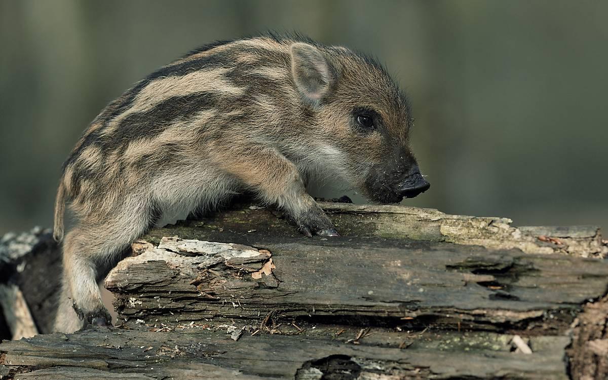 Frischling Wildschwein