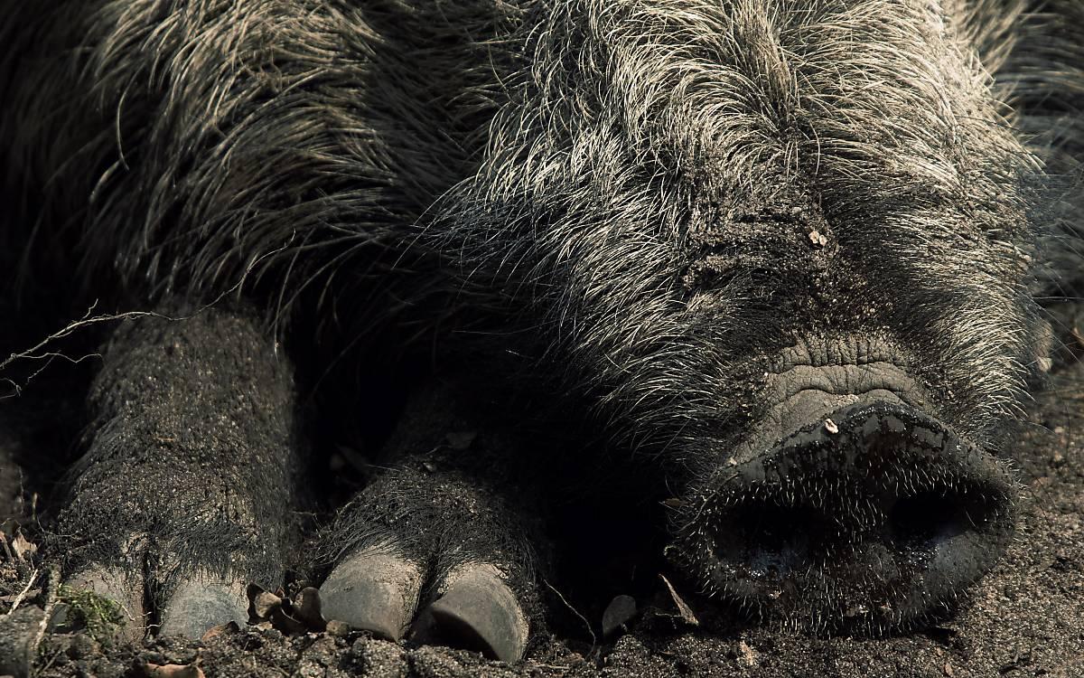 Wildschwein Rüssel Schnauze