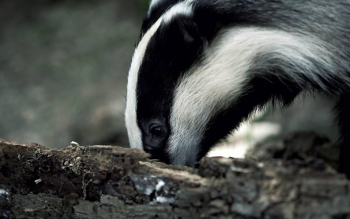 Der Geruchssinn ist am stärksten entwickelt, das Sehvermögen dagegen sehr schlecht.