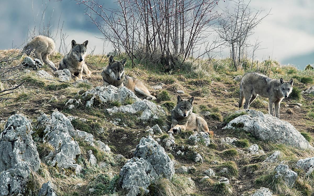 Wölfe leben im Rudel. Jungtiere verlassen das Rudel meist mit 1 bis 2 Jahren, um ein eigenes Rudel zu gründen.