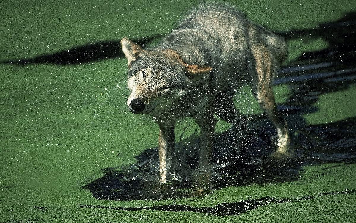 Wolfsrudel besetzen Reviere, die zwischen 100 und 300 Quadratkilometern groß sein können.