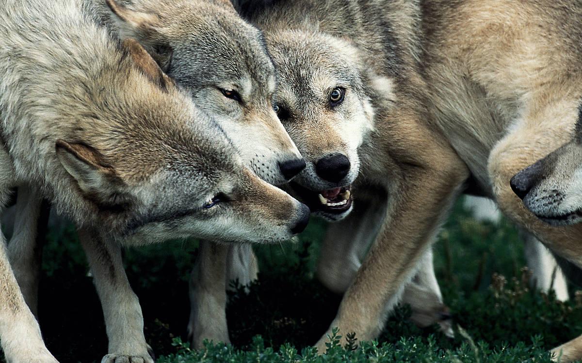 Steckbrief Wolf
