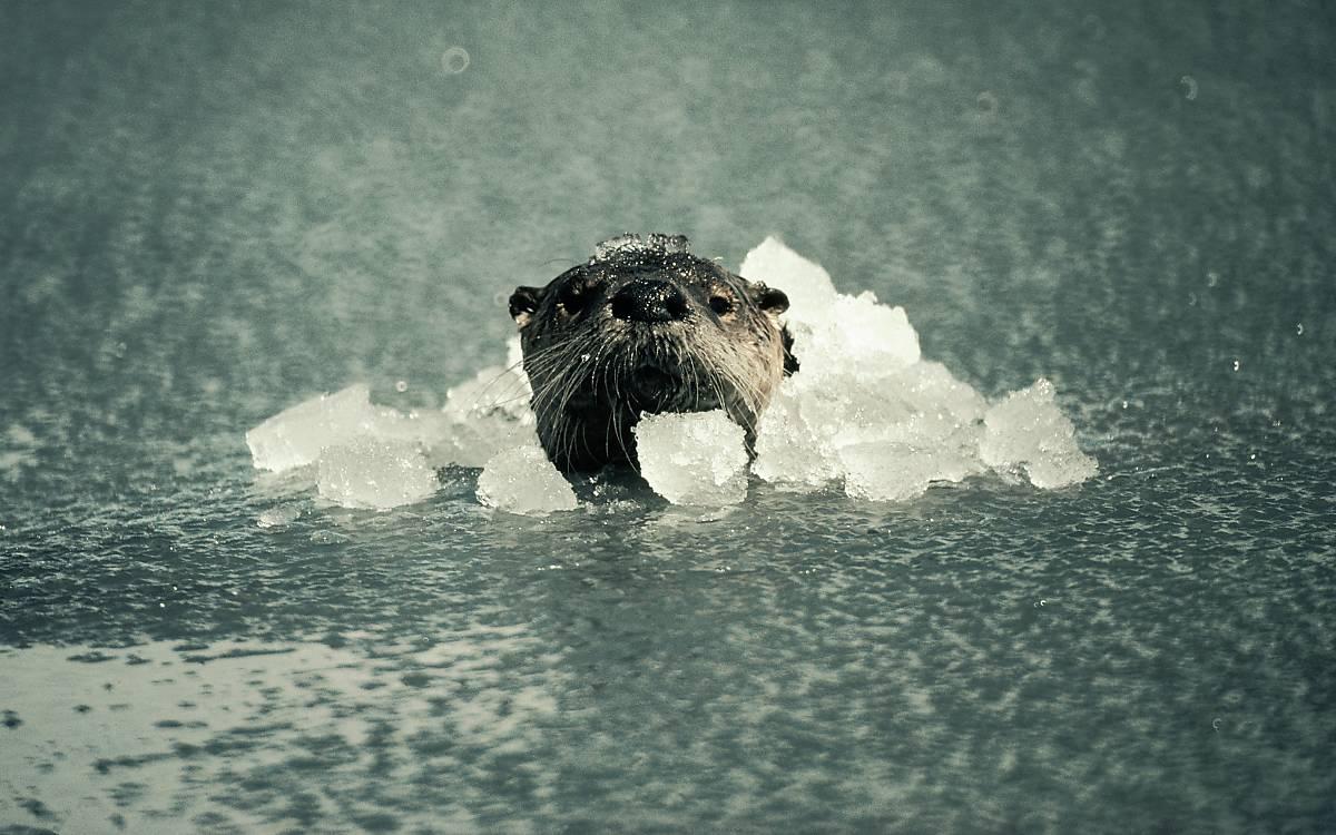 Fischotter können unter Wasser nicht atmen.  Sie können aber minutenlag unter Wasser bleiben.
