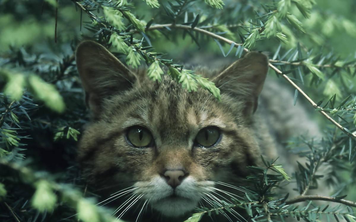 Wildkatze im Unterholz