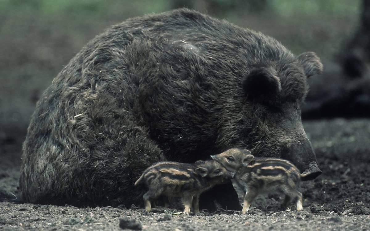 wildschwein-mit-frischlingen