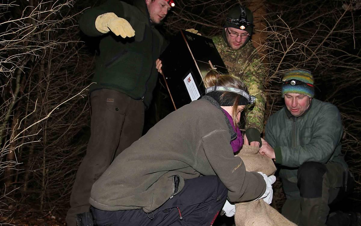 Vorsichtig wird die Wildkatze aus der Falle in einen stabilen Sack überführt.