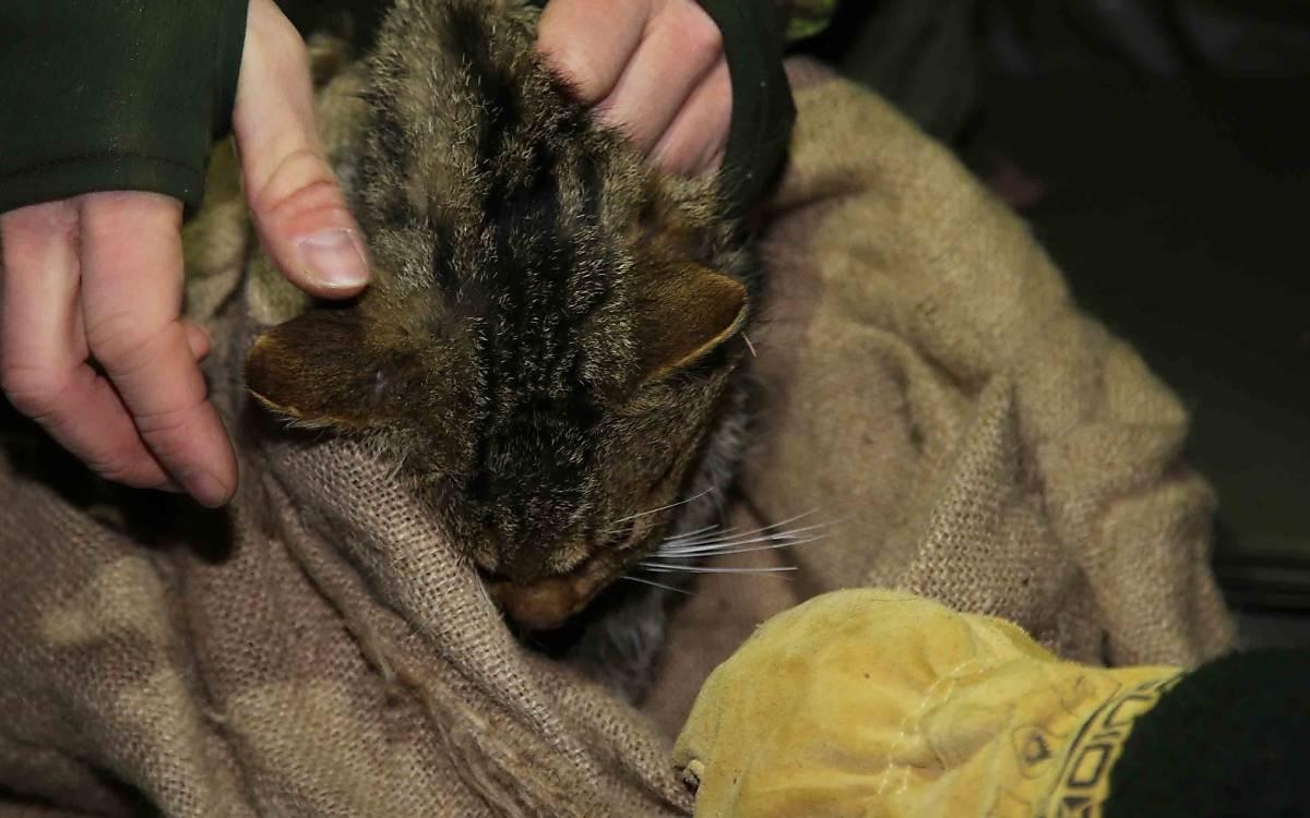 Nach einigen Minuten ist die Wildkatze im Tiefschlaf – für alle Beteiligten ist nun eine stressfreie Untersuchung möglich.