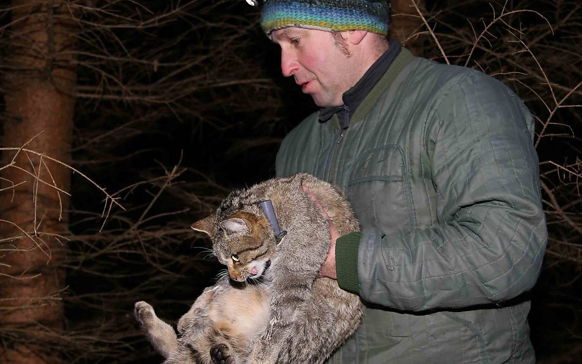 Am Ende der Behandlung wird die Wildkatze von Olaf Simon zum Aufwachen aus der Narkose noch einmal zurück in die Falle gebracht.